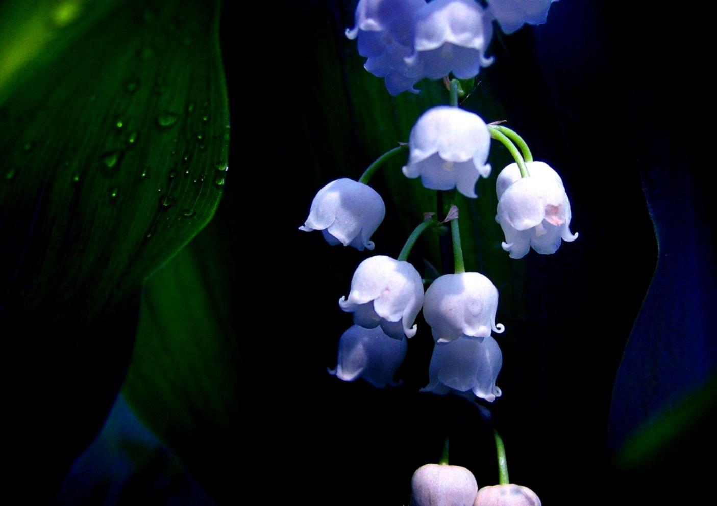 Hoa lan chuông ánh xanh cực đẹp