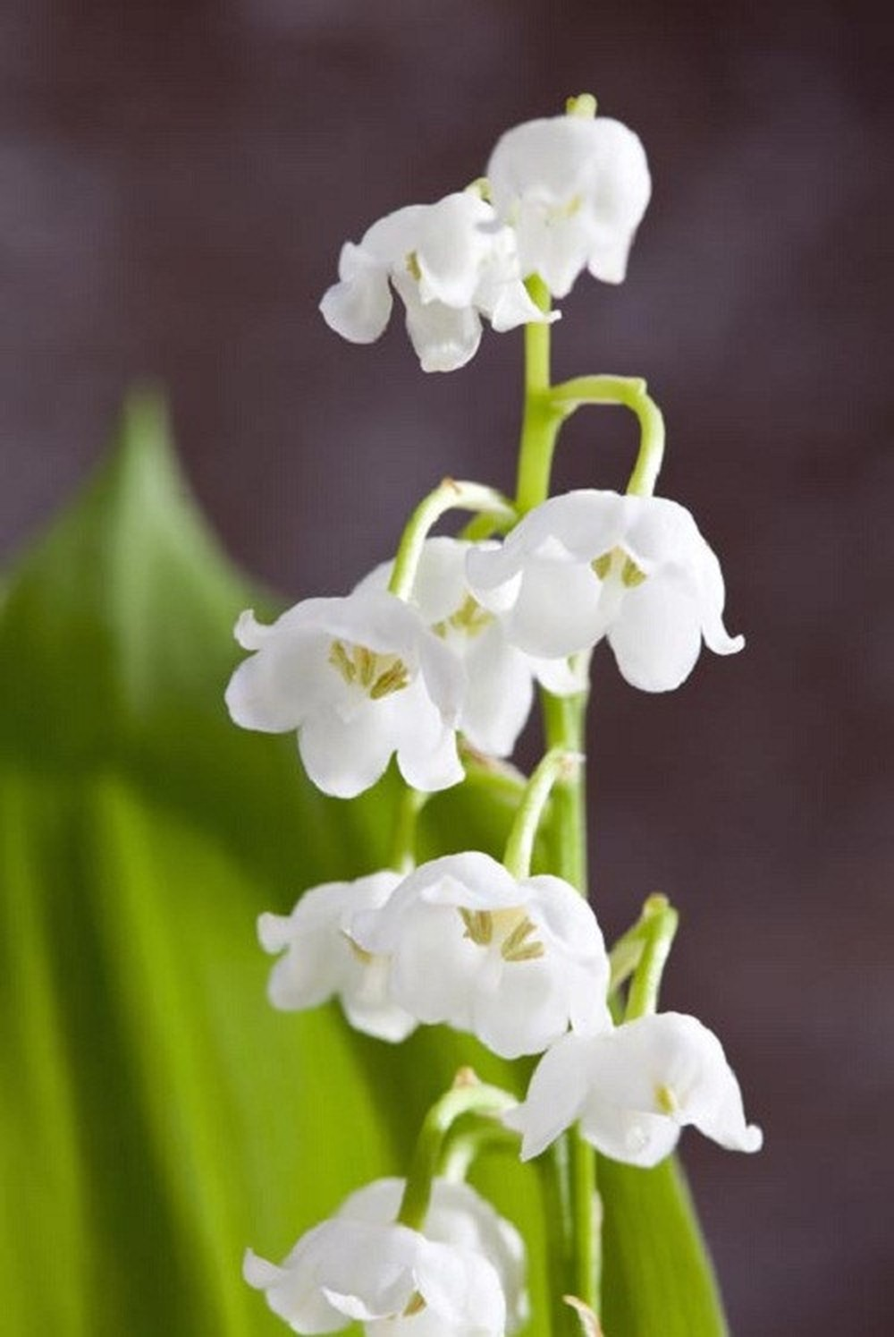 Hoa lan chuông cực đẹp màu trắng