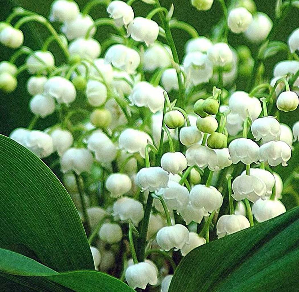 Hoa lan chuông trắng cực kỳ đẹp
