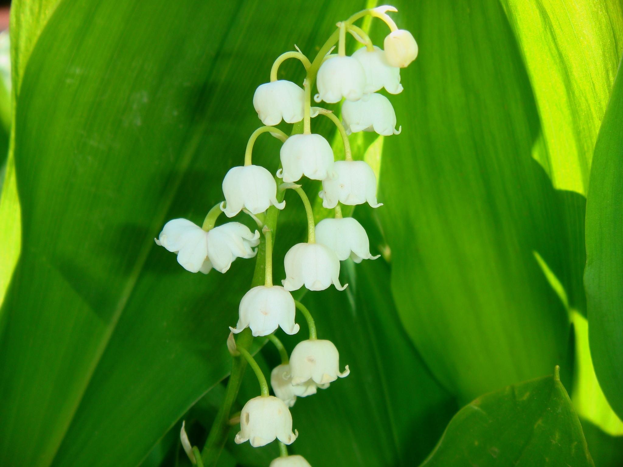 Hoa lan chuông trắng nằm giữa tán lá xanh