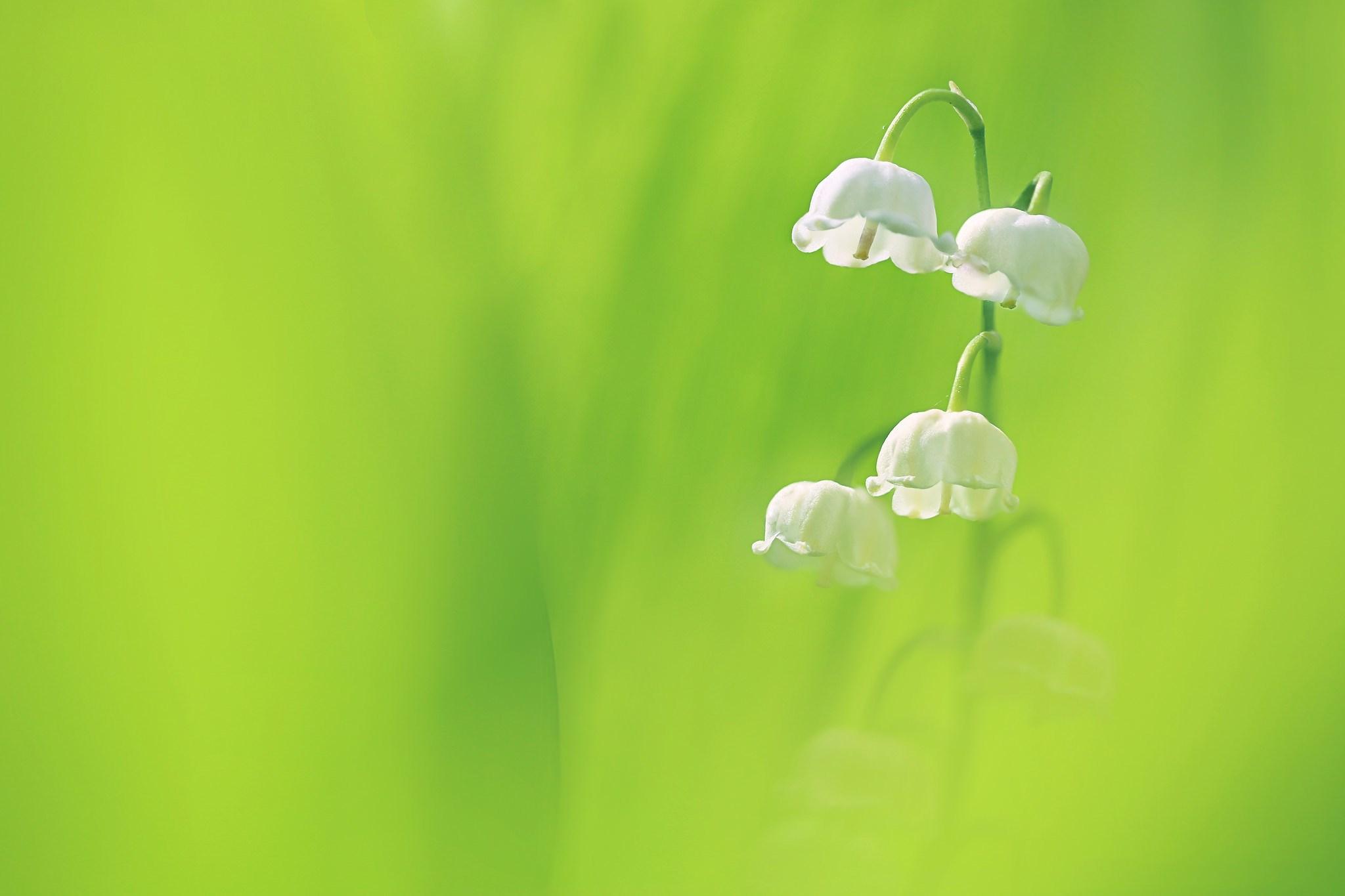 Hoa lan chuông trắng tinh khôi trên nền cỏ xanh