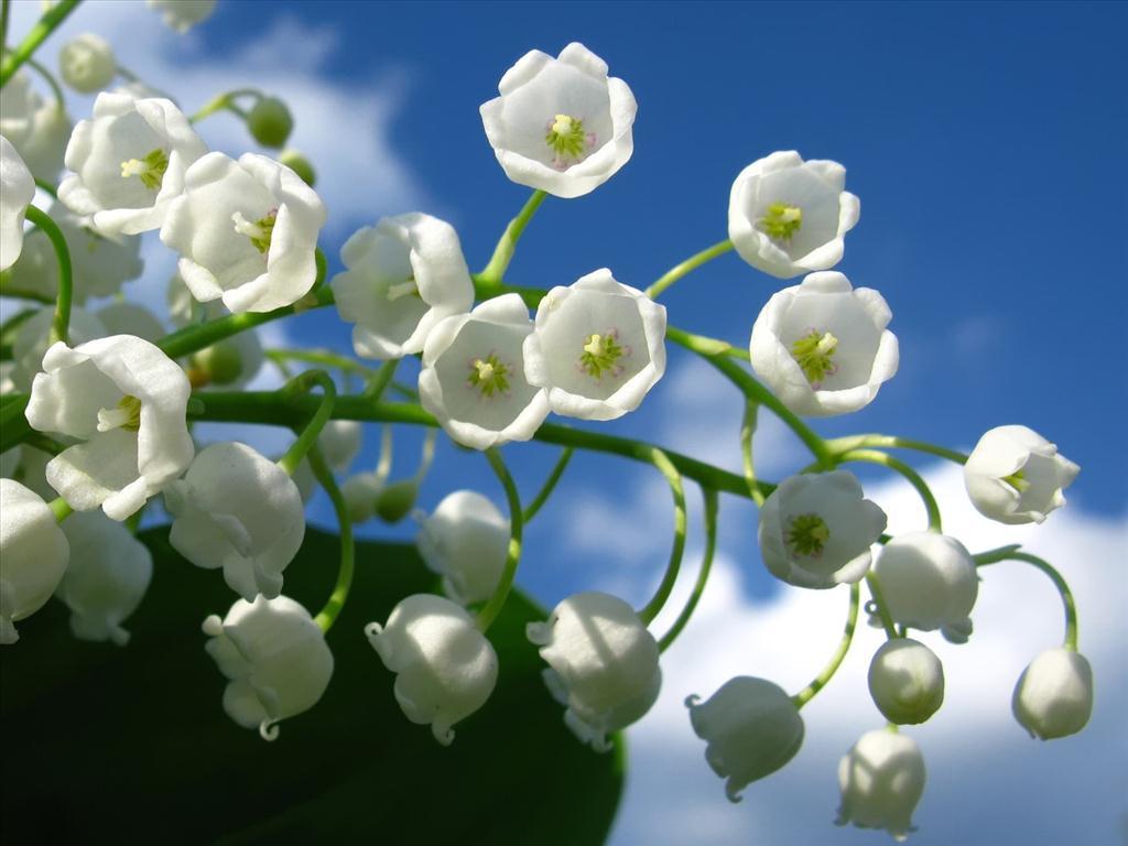 Hoa lan chuông trắng tuyệt đẹp trên nền trời