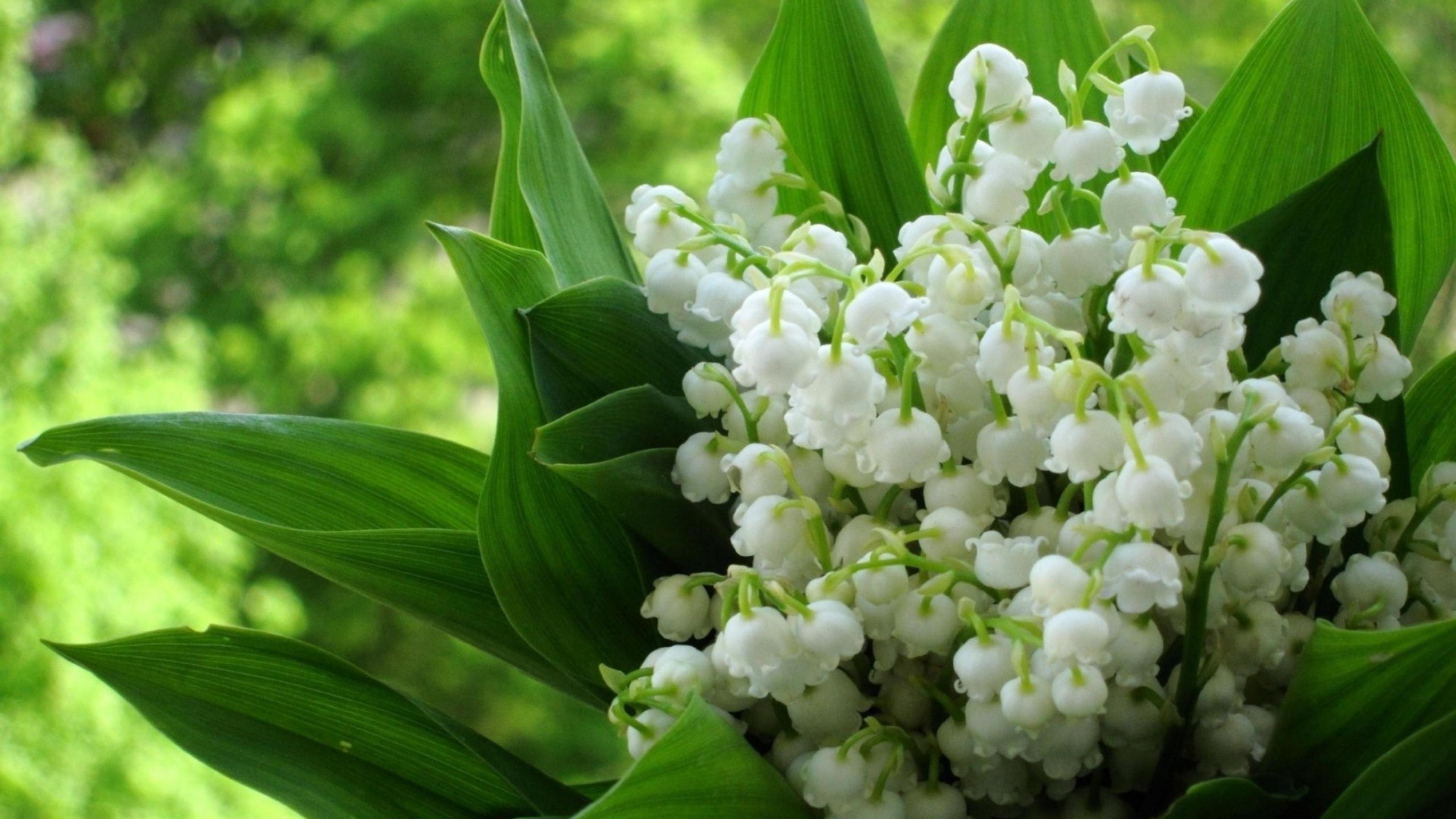 Hoa linh lan hay còn gọi là hoa lan chuông cực đẹp