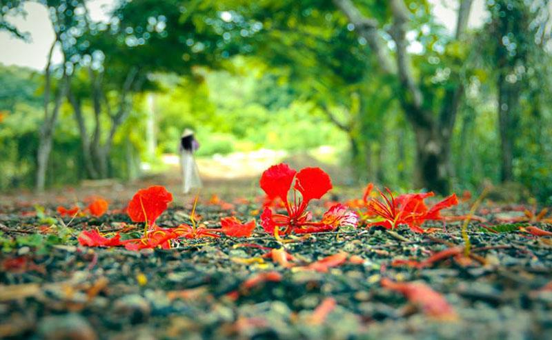Hoa phượng mùa hè tươi đẹp