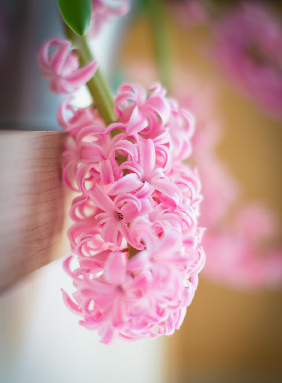 Hoa tiên ông hồng phấn cực xinh
