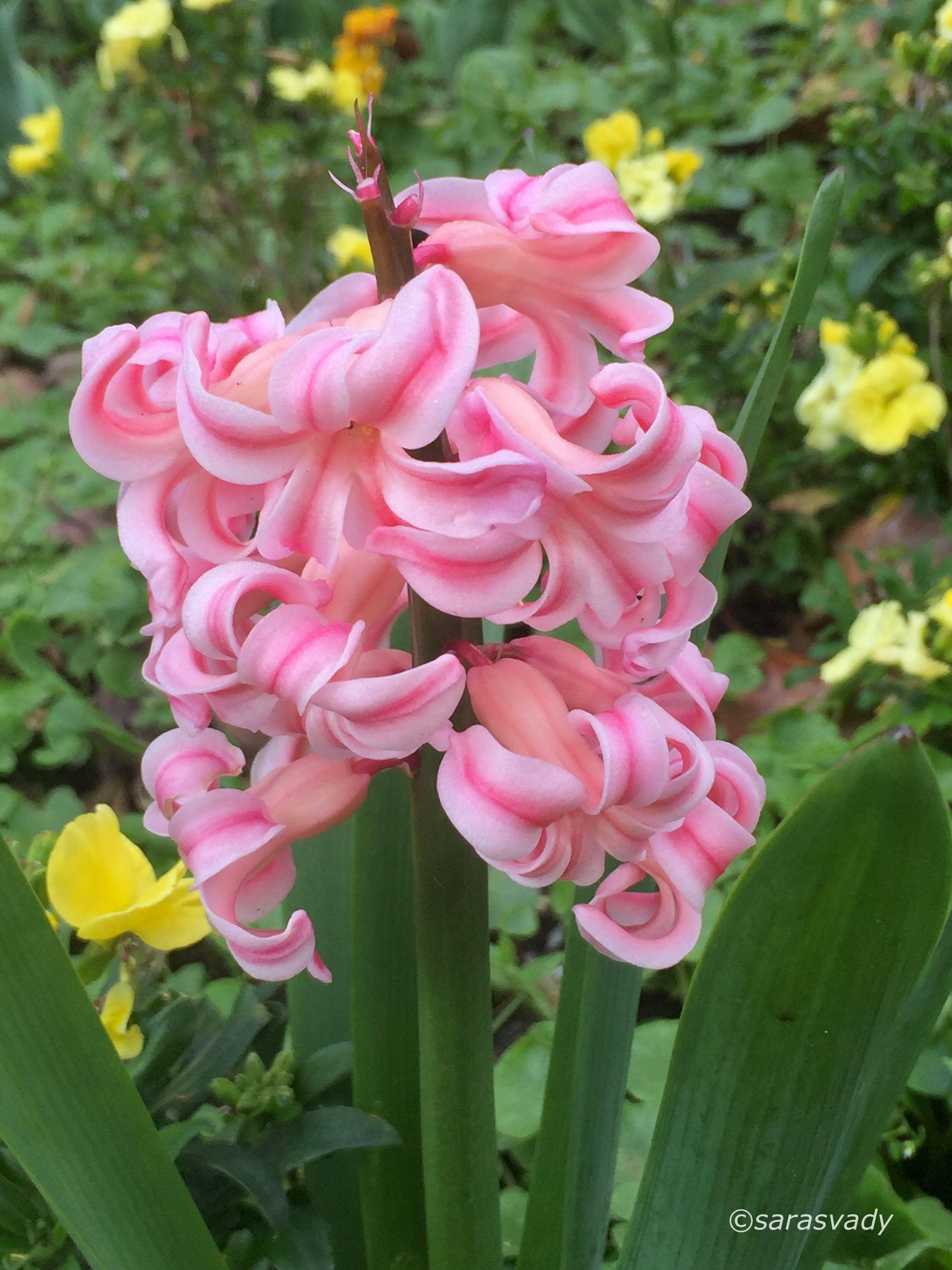 Hoa tiên ông màu hồng phấn cực đẹp