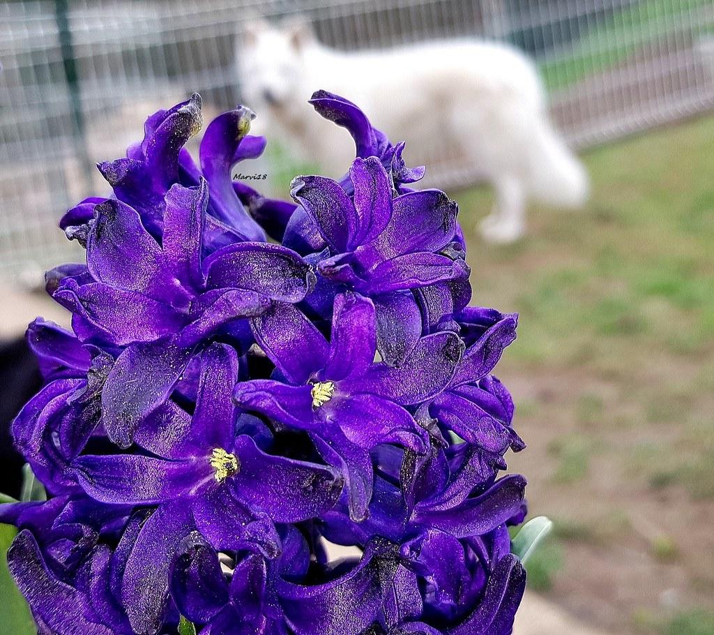 Hoa tiên ông màu tím đậm cực quý phái