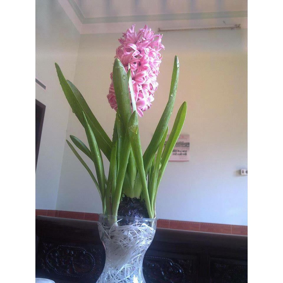 Hoa tiên ông màu tím trồng trong nhà