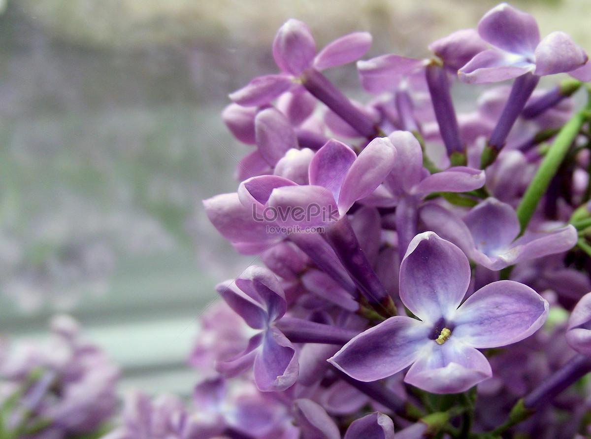 Hoa tím nhạt tử đinh hương cực xinh