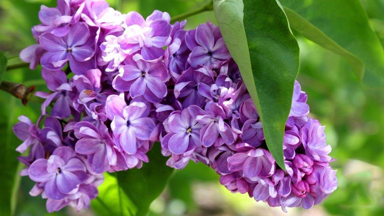 Hoa tử đinh hương cực kỳ đẹp