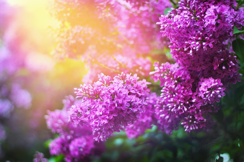 Hoa tử đinh hướng đóng nắng rực rỡ