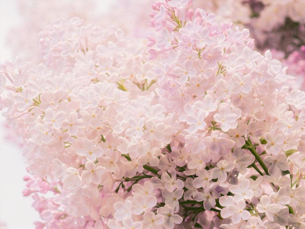 Hoa tử đinh hương hồng nhạt cực đẹp