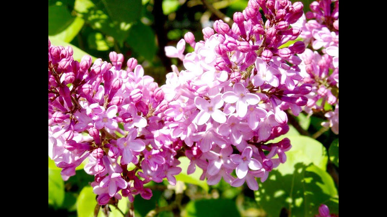 Hoa tử đinh hương khoe sắc rực rỡ
