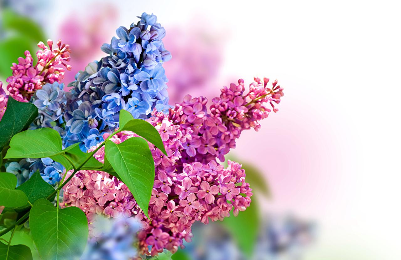 Hoa tử đinh hương màu xanh màu hồng