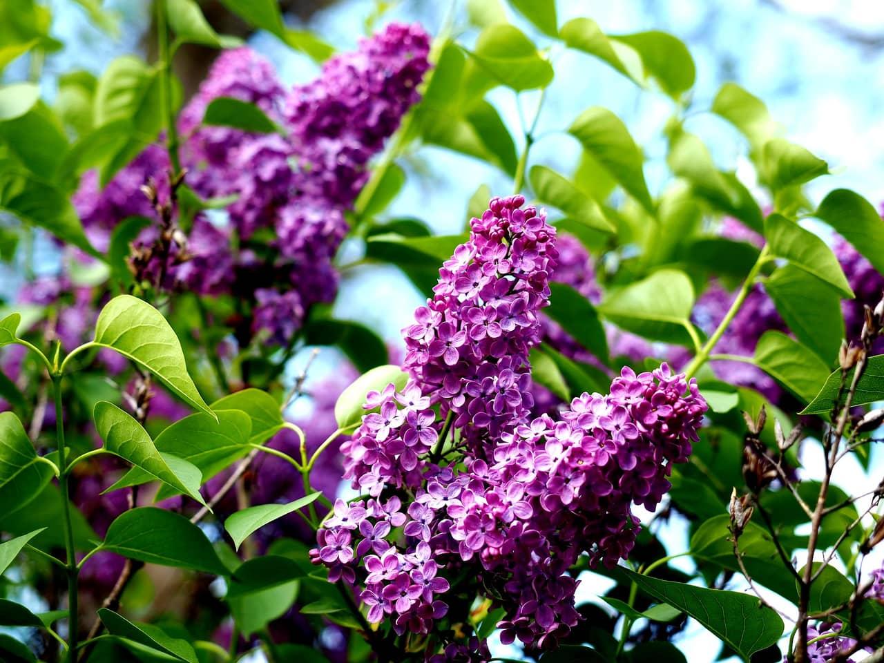 Hoa tử đinh hương nở rộ cực đẹp