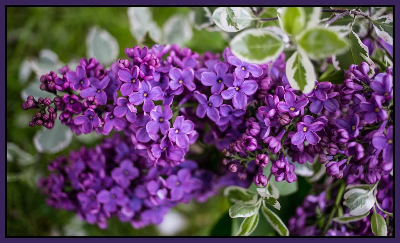 Hoa tử đinh hương tím cực đẹp