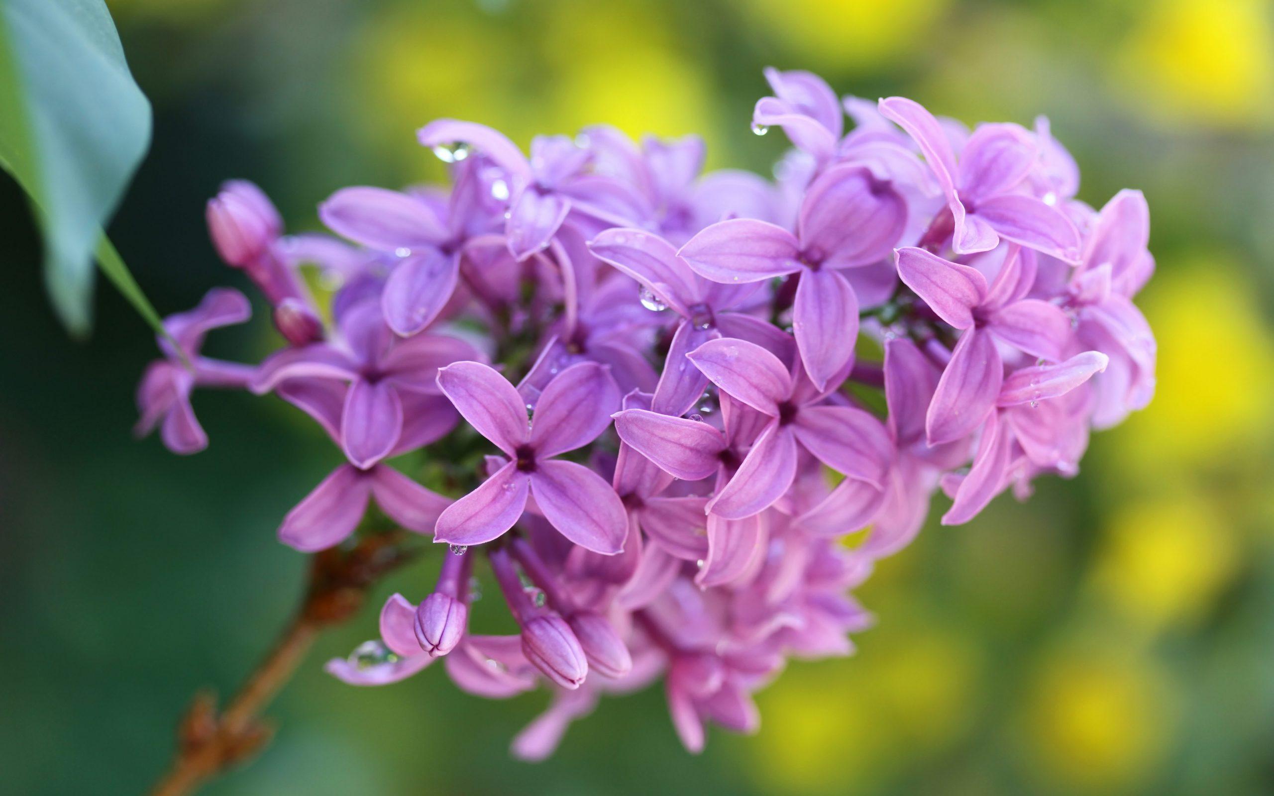 Hoa tử đinh hương tím hồng cực đẹp
