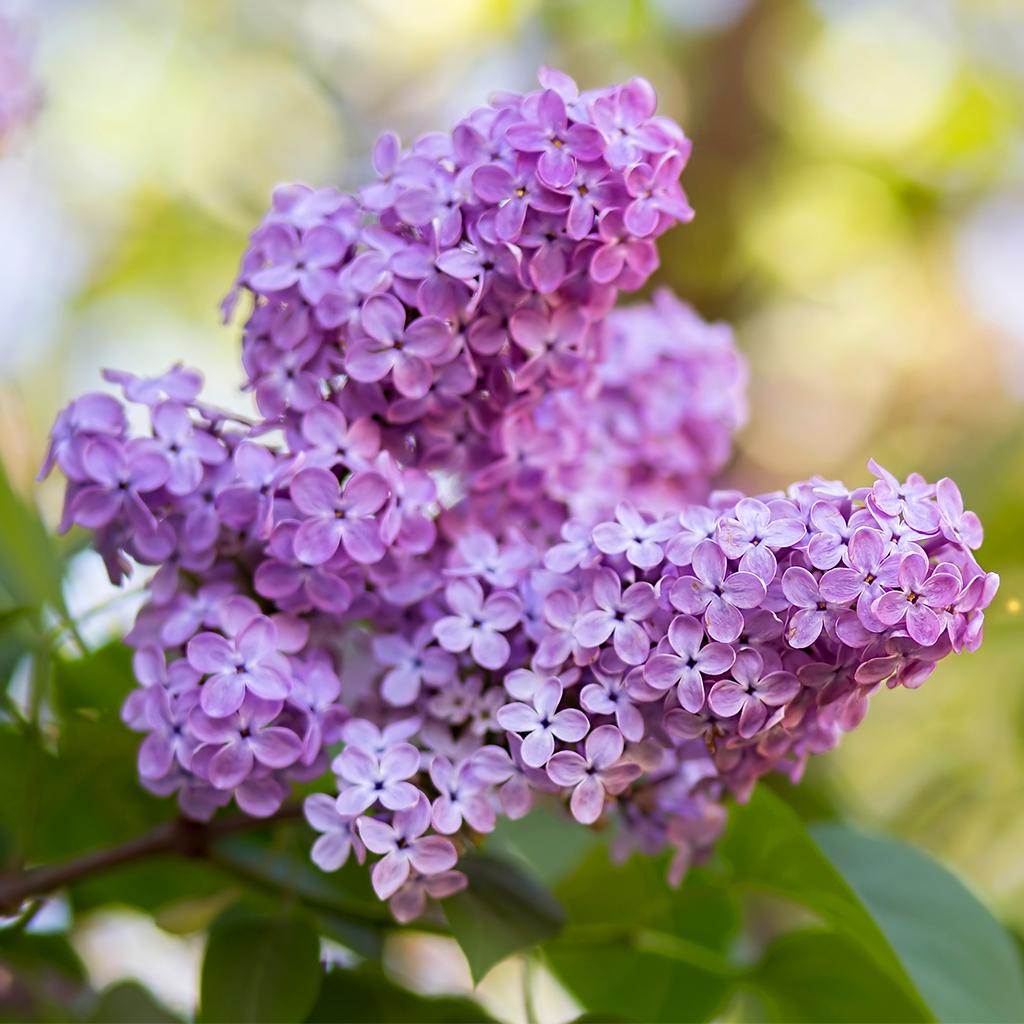 Hoa tử đinh hương tím nhạt cực đẹp