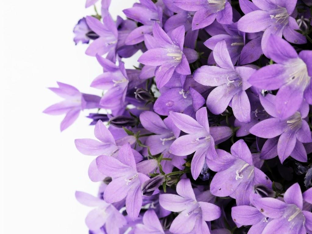 Hoa tử đinh hương tím nhạt cực kỳ đẹp