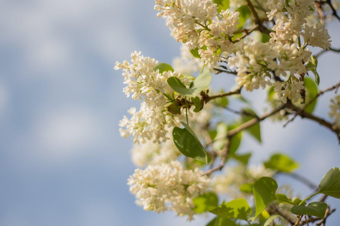 Hoa tử đinh hương trắng cực đẹp