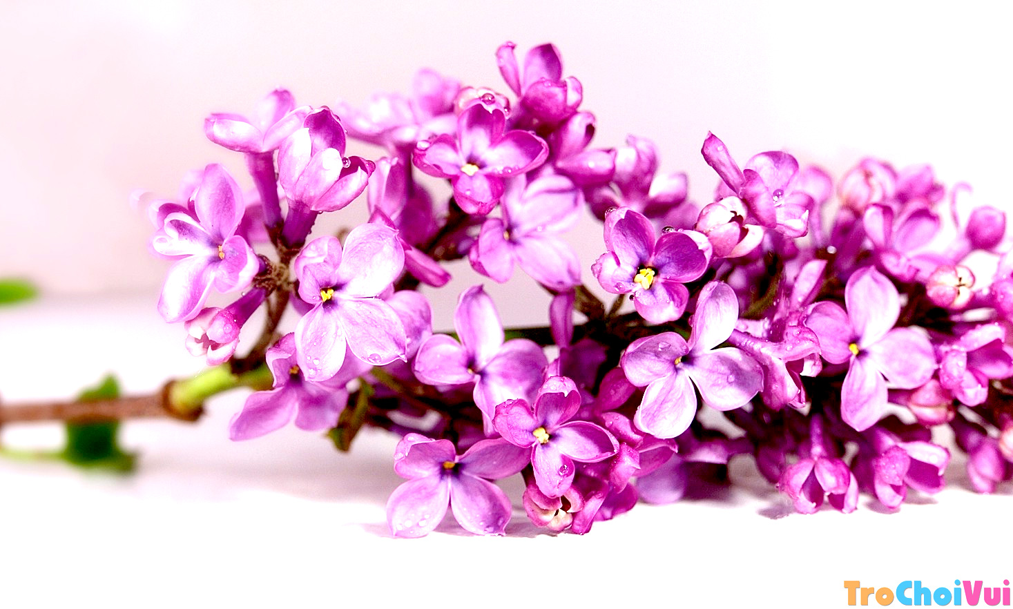 Hoa tử đinh hương xinh đẹp