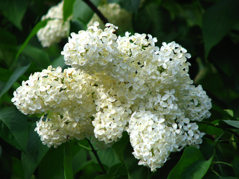 Khóm hoa tử đinh hướng trắng cực đẹp