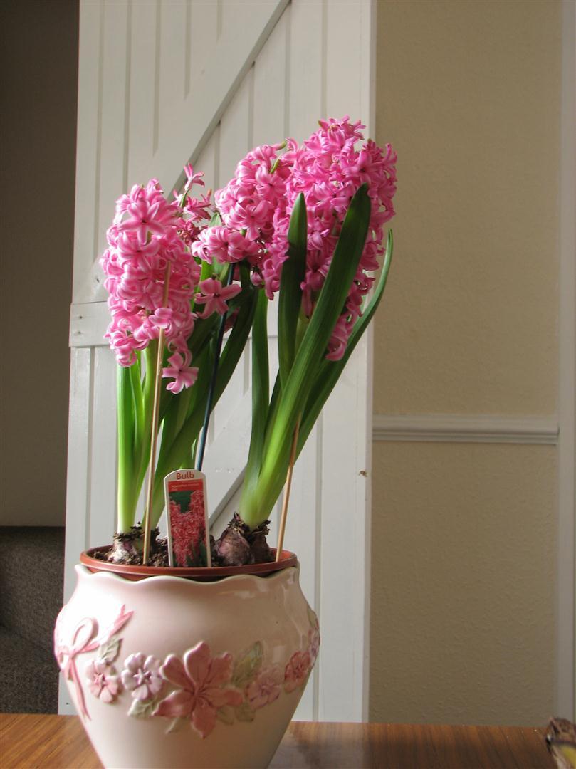 Lọ hoa tiên ông màu hồng phấn cực đẹp