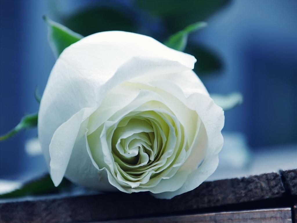 Một bông hoa hồng trắng cực xinh
