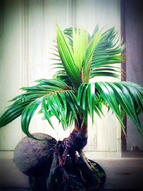 Một cây dừa cảnh nhỏ bé