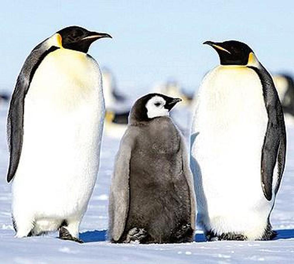 Một nhà ba con chim cánh cụt bố mẹ và con
