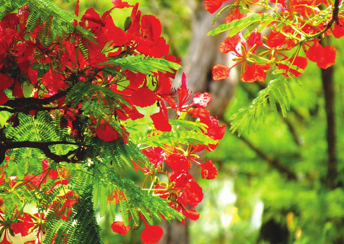 Mùa hè về hoa phượng nở rộ