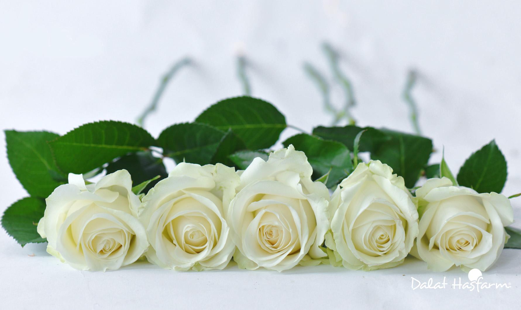 Năm bông hồng trắng xếp gần nhau