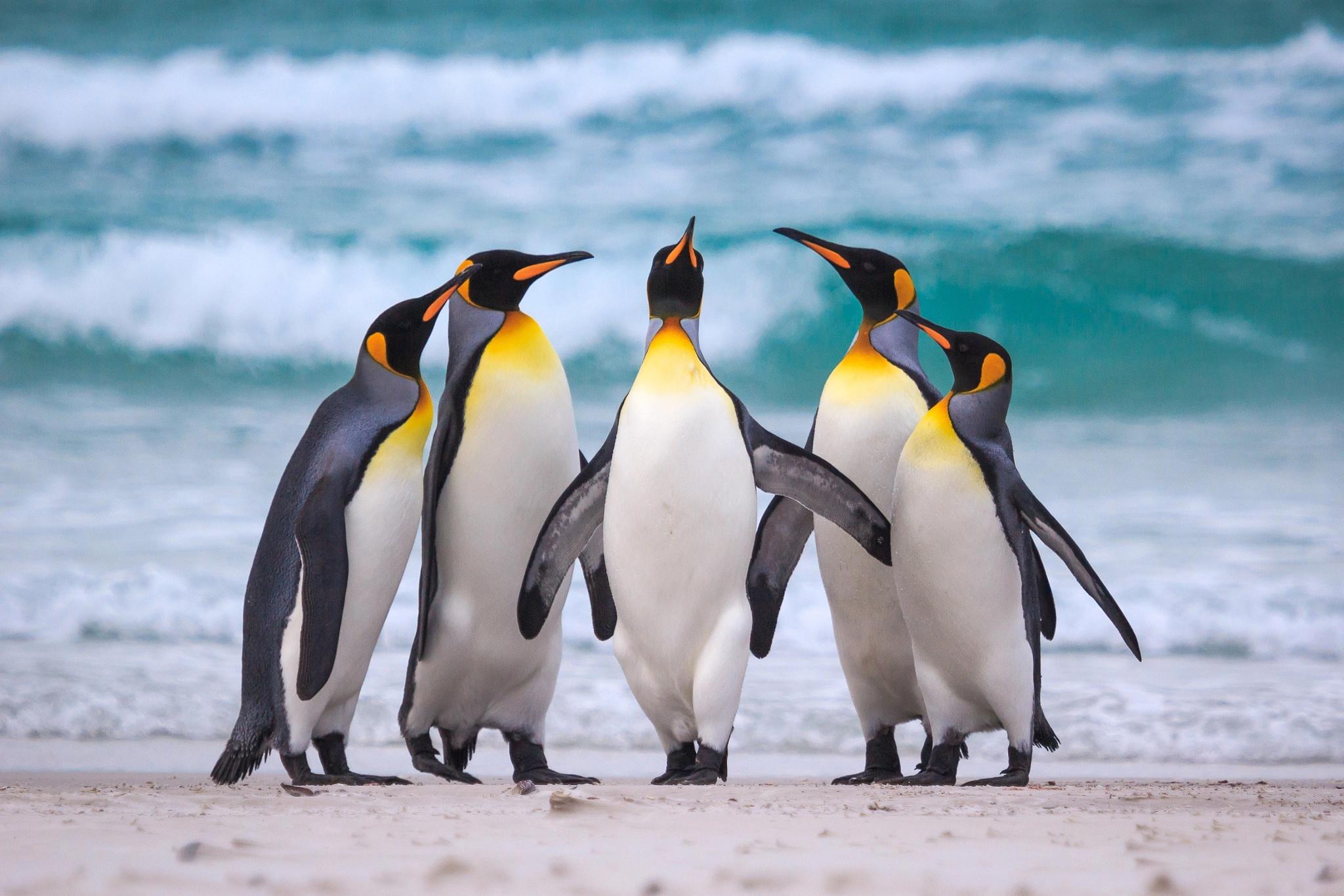 Năm chú chim cánh cụt hoàng đế đang rất fabulous
