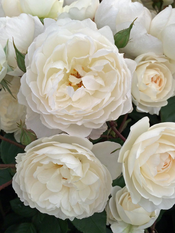 Nhiều bông hoa hồng trắng cực xinh đẹp