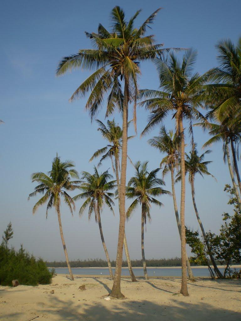 Nhiều cây dừa cùng mọc trên bãi cát