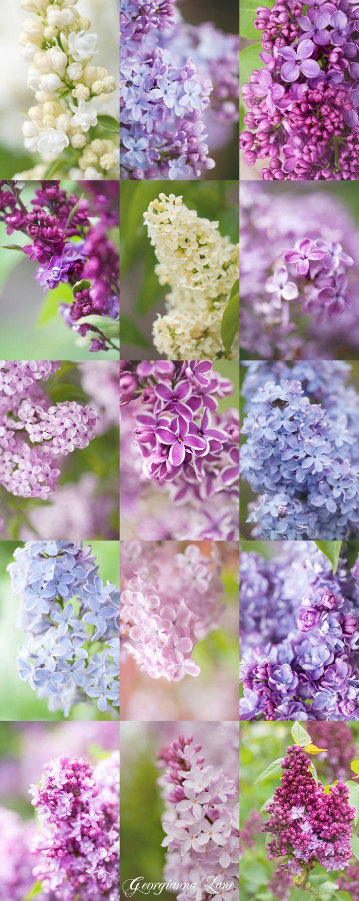 Nhiều hình dạng cây hoa tử đinh hương với nhiều màu sắc