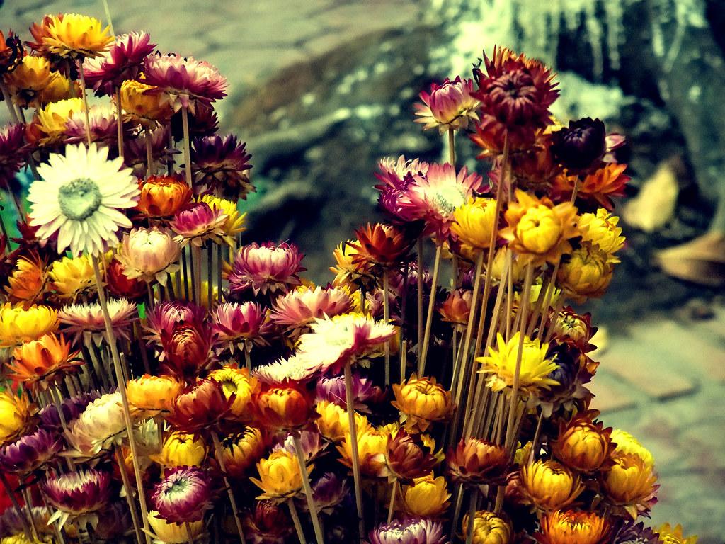 Những bó hoa bất tử sắp tàn trông vẫn rất đẹp