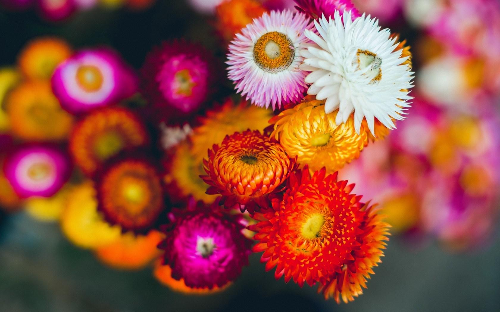 Những bông hoa bất tử cực kỳ xinh đẹp