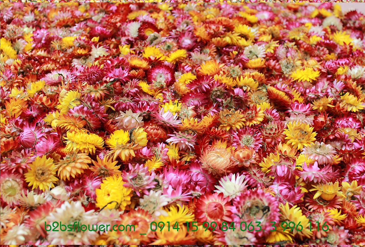 Những bông hoa bất tử đã được hái xuống