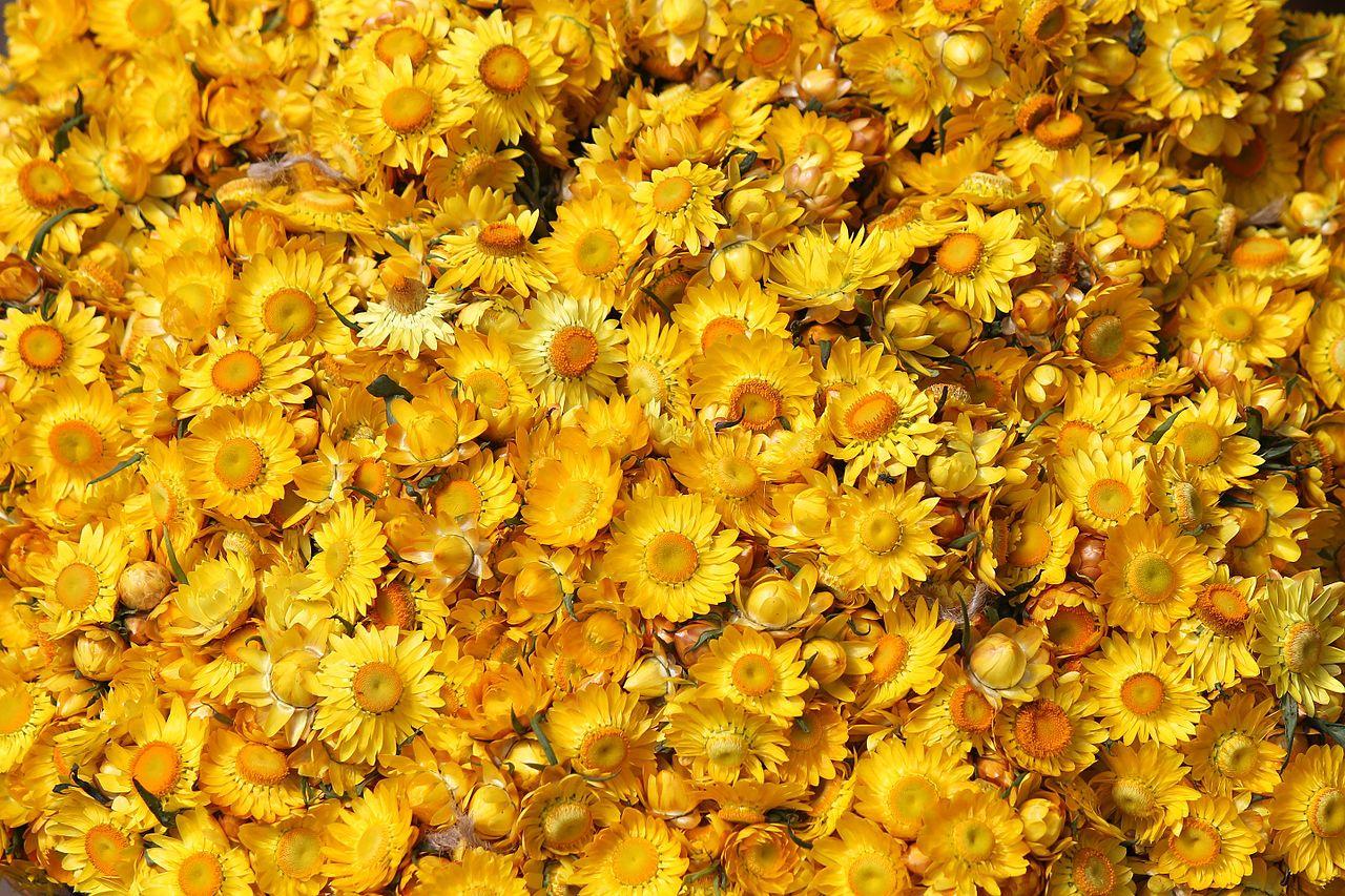 Những bông hoa bất tử màu vàng cực đẹp