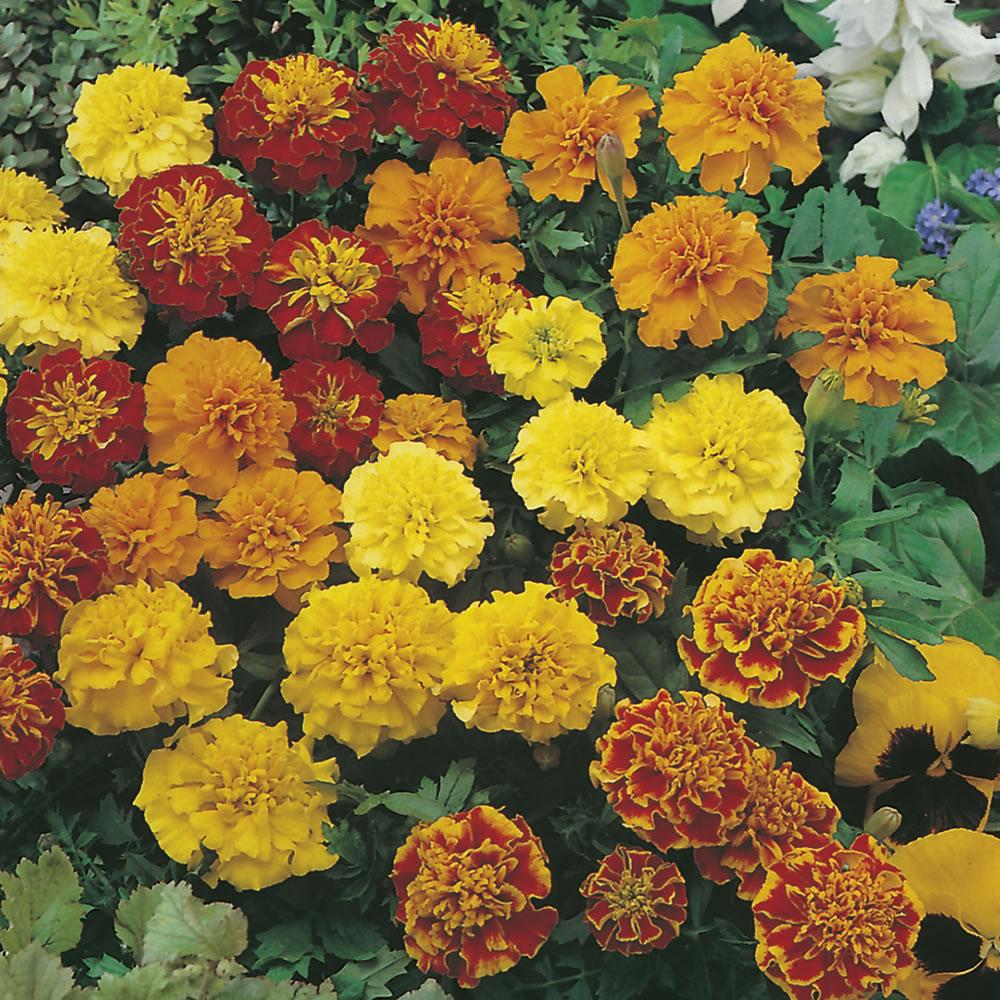 Những bông hoa cúc vạn thọ nhiều màu cực đẹp
