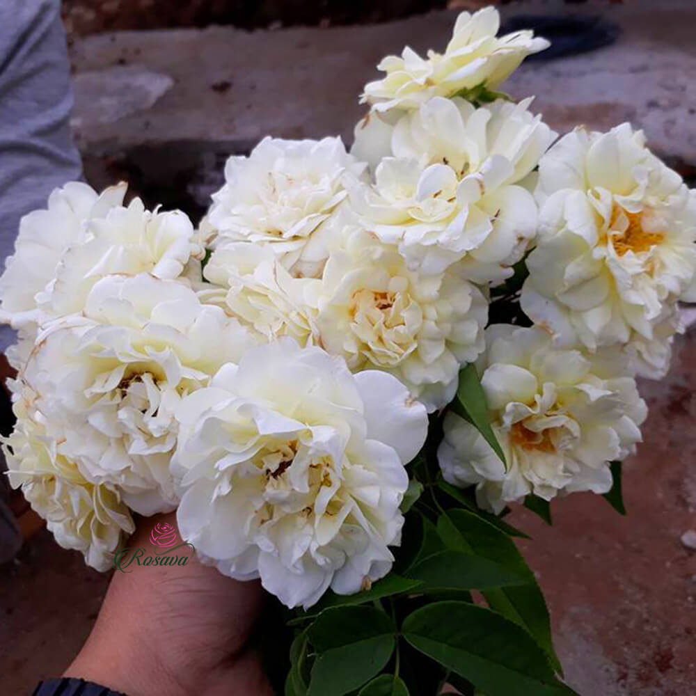 Những bông hoa hồng trắng Đà Lạt có một sắc đẹp lạ