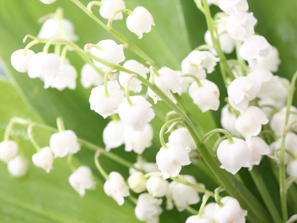 Những bông hoa lan chuông cực đẹp trắng tinh