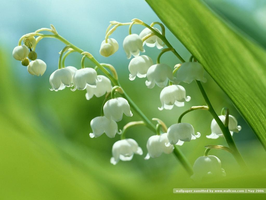 Những bông hoa lan chuông rủ xuống cực đẹp