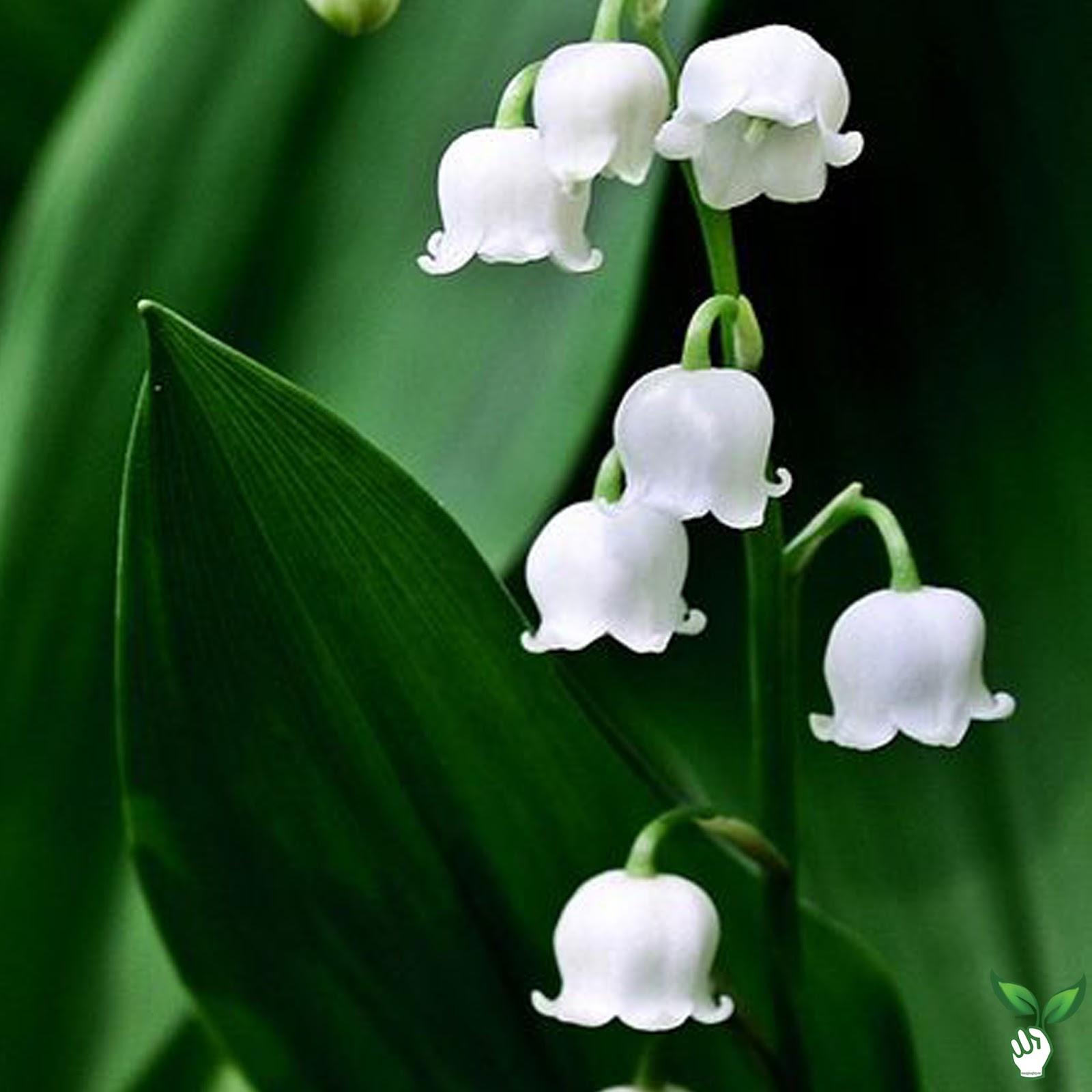 Những bông hoa lan chuông trắng tạo thành hình ảnh thật đẹp
