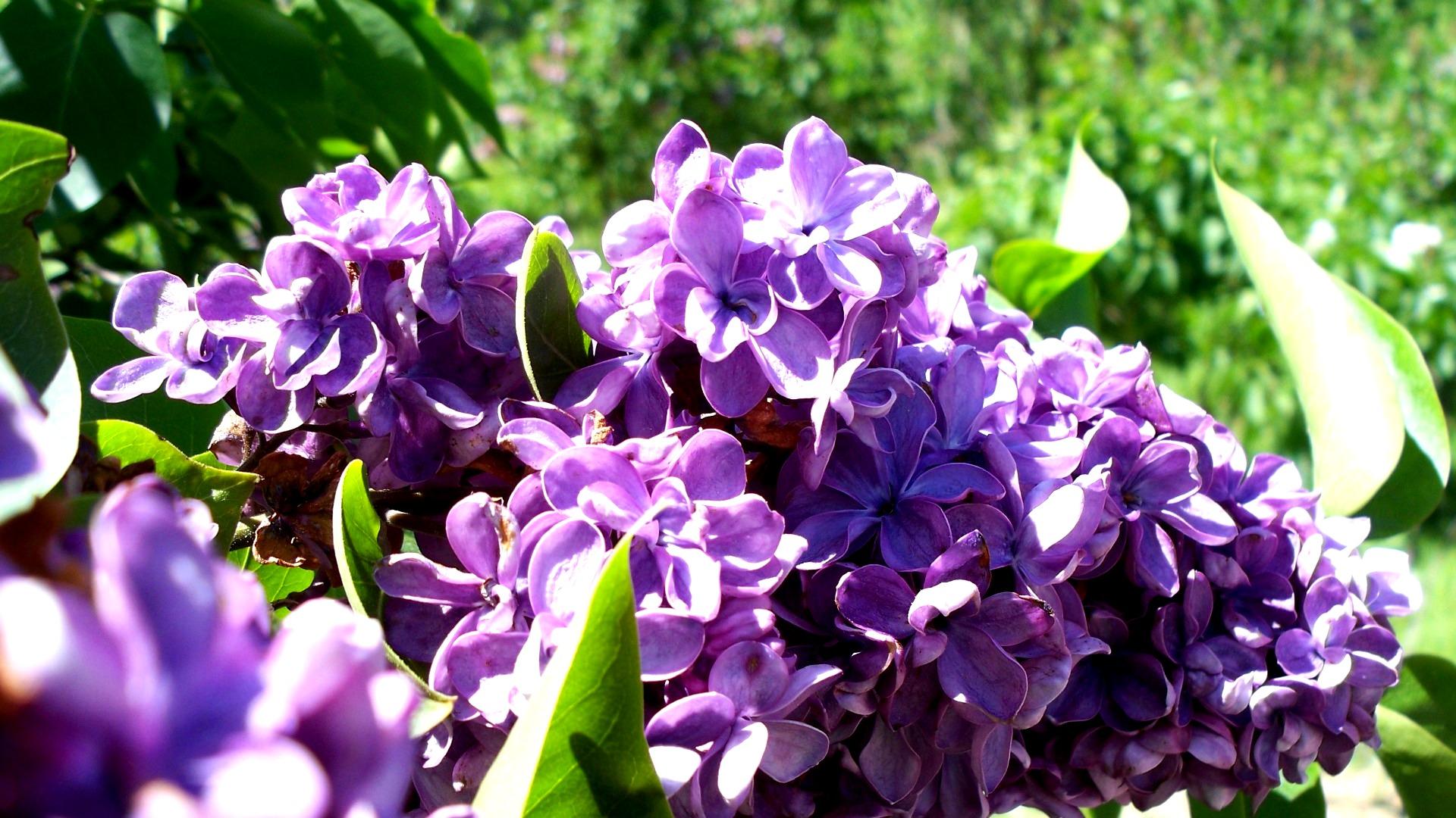 Những bông hoa tím đậm rực rỡ dưới nắng