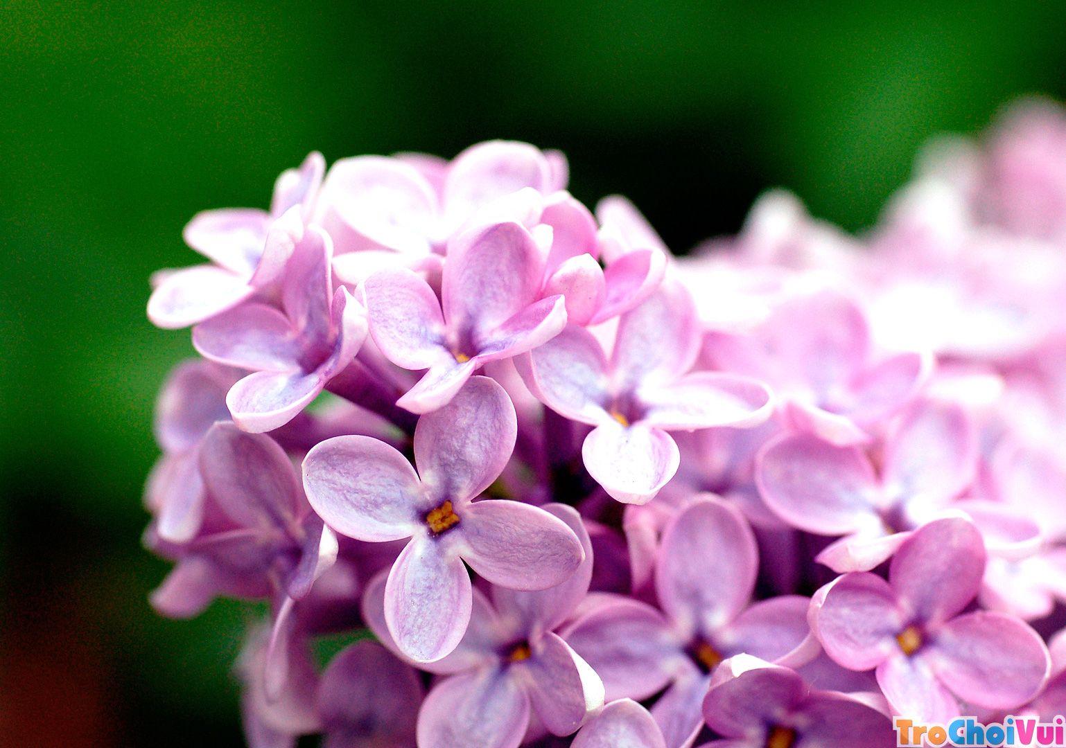 Những bông hoa tử đinh hương tím bốn cánh cực đẹp