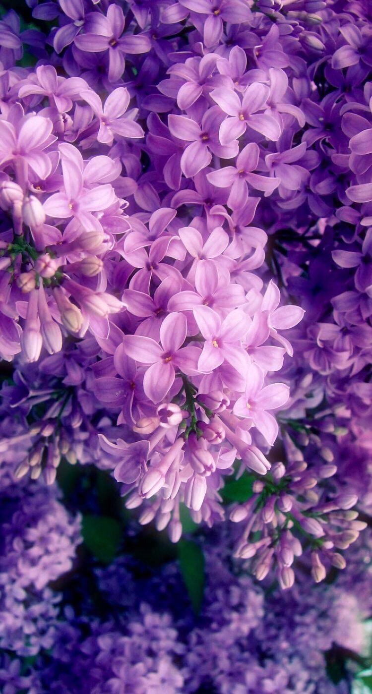 Những bông hoa tử đinh hương tím bừng sáng