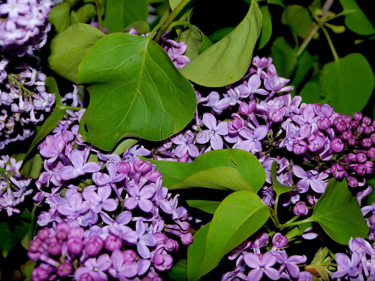 Những bông hoa tử đinh hương tím cực đẹp