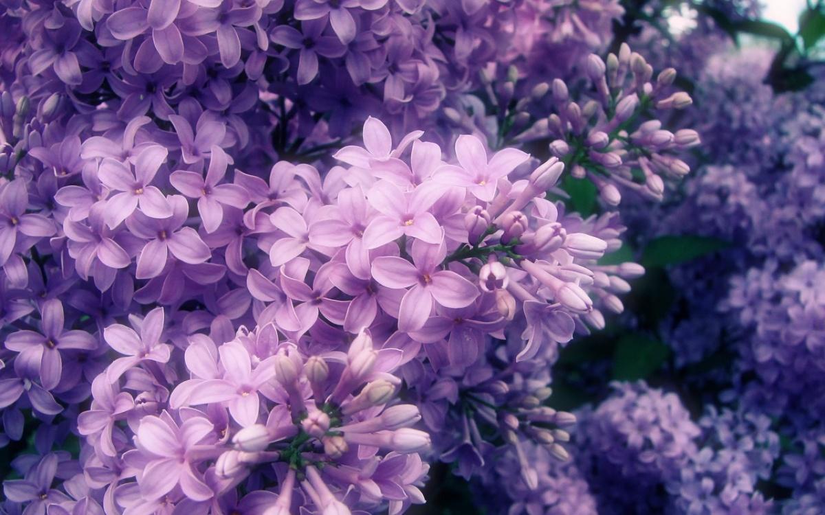 Những bông hoa tử đinh hương tím rất đẹp